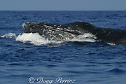 humpback whale, Megaptera novaeangliae, male in competitive group has scars and open wounds on head from fighting other males; Hawaii; NMFS permit #587