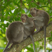 A small group of crab-eating macaques (Macaca fascicularis), also know as long-tailed macaques, grooming each other, in the Sacred Monkey Forest Sanctuary, Ubud, Indonesia.