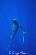 false killer whale & calf, Pseudorca crassidens, Endangered species, Kona, Hawaii ( Central Pacific Ocean )