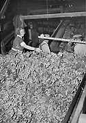 5589Starting hop vines through the stationary picker. Ida Cuff in foreground at the E. Clemens Horst hop ranch near Independence, Oregon. September 1, 1942.
