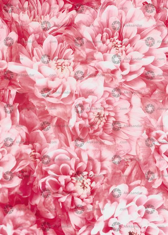 Vintage look of red chrysanthemum flowers