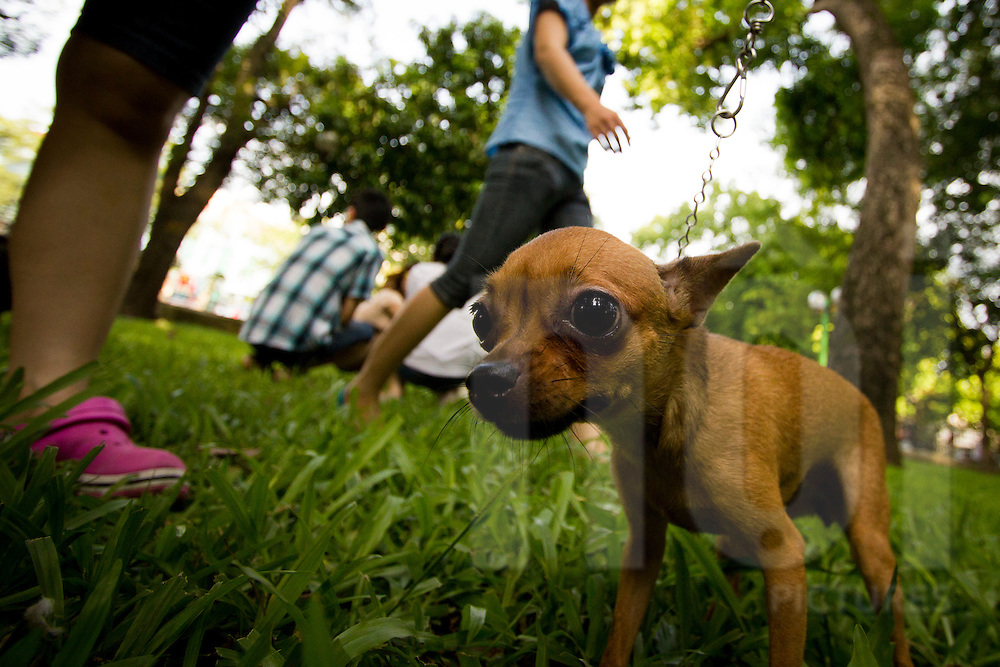 Chihuahua dog's playing in the grass of Lenin park, hanoi, Vietnam, Asia.