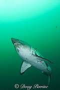 salmon shark, Lamna ditropis, with copepod parasites trailing from fins, Port Fidalgo, Prince William Sound, Alaska, U.S.A.; this apex predator, sometimes called the Pacific porbeagle, is a mackerel shark in the order Lamniformes; it swims in cold water, but is warm-blooded ( homeothermic )