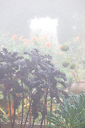 Kale 'Red Bor' on a foggy morning in the vegetable garden