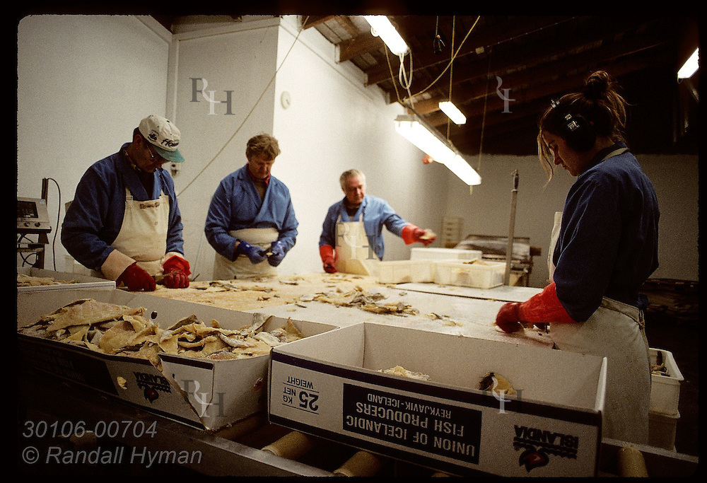 Workers prepare saltfish (cod) for export to Europe @ Isfelag factory in the Westman Islands. Iceland
