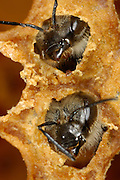 Honey bee (Apis mellifera), Kiel, Germany | Die junge Honigbiene (Apis mellifera) Verpuppt sich in einer verdeckelten Wabenzelle. Den Wachsdeckel muß sie selbst aufbeisen, um die Zelle verlassen zu können.  Kiel, Deutschland