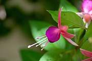 Closeup of a flowering Fuchsia magellanica commonly known as the hummingbird fuchsia or hardy fuchsia, is a species of flowering plant in the family Evening Primrose family (family Onagraceae), native to the lower Southern Cone of southern South America.[1]