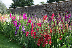 The gladiolus trial at Parham House.