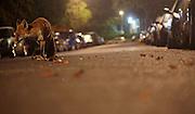 Urban fox actice in a Bristol street after dark