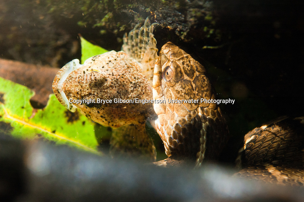 Northern Watersnake (eating a Sculpin)<br /> <br /> Bryce Gibson/Engbretson Underwater Photography