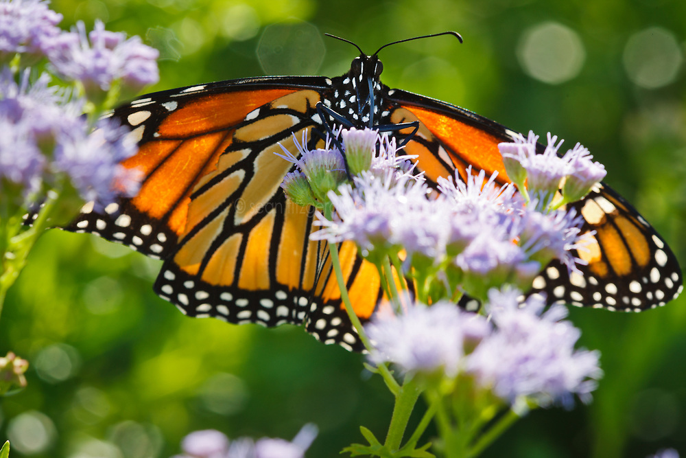 Monarch butterfly in wildflowers (mistflowers?), Trinity River Audubon Center, Dallas, Texas, USA.