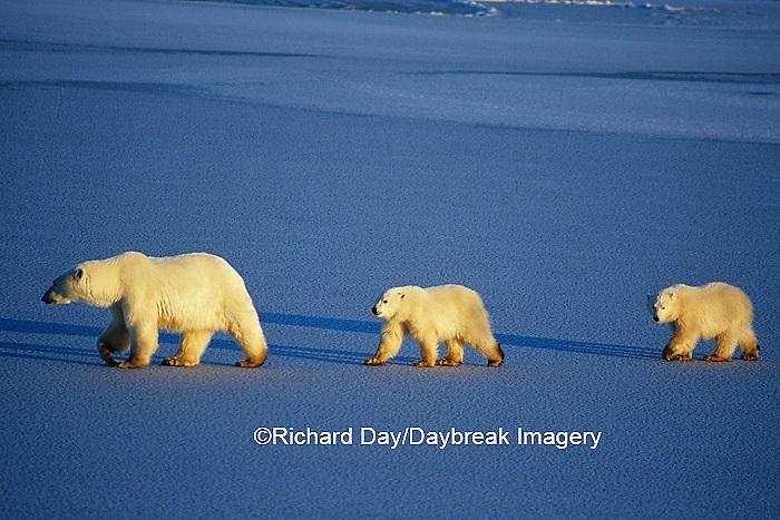01874-01204 Polar Bears (Ursus maritimus) female with 2 cubs walking on frozen pond  Churchill  MB