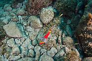 Mediterranean parrot fish-Poisson perroquet méditerranéen (Sparisoma cretense)