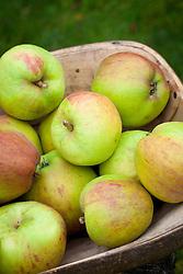 Apple 'Blenheim Orange' in a trug. Malus