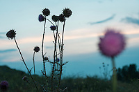 Musk thistle or nodding thistle (Carduus nutans) at dusk, Somova-Parches. close to Somova village, upper Danube Delta, Romania.