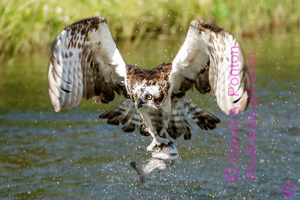 Osprey flies up from pond after capturing a fish, gripping the fish with both feet and aligning it with the flight direction, with a research band visible on one leg, © David A. Ponton