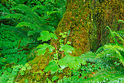 Moss-covered western hemlock (Tsuga heterophylla) and lush groundcover in the Hoh Rain Forest, Olympic National Park, Washington