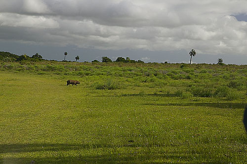 South America, Uruguay, Rocha, Parque Nacional Santa Teresa, Estacion Biologica Potrerillo de Santa Teresa, capybara, Hydrocoerus hydrochaeris, carpincho, adult, male, native grassland