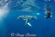 humpback whale calf, Megaptera novaeangliae, swims past licensed Tonga whale guide Calvin Manceau, Vava'u, Kingdom of Tonga, South Pacific