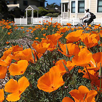 Woodrow Avenue is ablaze with color as thousands of California Poppies open their petals in the bright sunshine. <br /> Photo by Shmuel Thaler <br /> shmuel_thaler@yahoo.com www.shmuelthaler.com