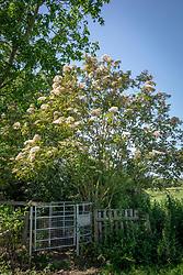 Sambucus nigra 'Gate in Field'. Elder