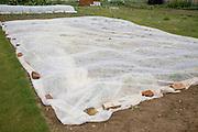 Protective fleece material covering crops at an allotment garden, Shottisham, Suffolk, England