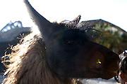 Ecuador, May 25 2010: Llama at Hacienda San Agustin del Callo. Copyright 2010 Peter Horrell