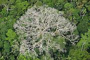 Emergent Ceiba Tree (Ceiba pentandra) and rainforest canopy<br /> Yasuni National Park, Amazon Rainforest<br /> ECUADOR. South America<br /> HABITAT & RANGE:
