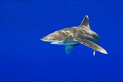 Oceanic Whitetip Shark with fishing hook, Carcharhinus longimanus, and Pilot Fish, Naucrates ductor, off Kona Coast, Big Island, Hawaii, Pacific Ocean.