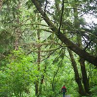 A hiker on an interpretive trail in the Hoh Rainforest, Washington.