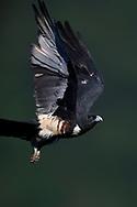 Black Baza, Aviceda leuphotes, flying in Guangshui, Hubei province, China