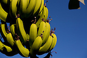 Conceicao do Castelo_ES, Brasil...Cachos de banana em Conceicao do Castelo...Banana bunches in Conceicao do Castelo...Foto: LEO DRUMOND / NITRO