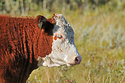 Cattle. Hereford<br /> Fort Walsh<br /> Saskatchewan<br /> Canada