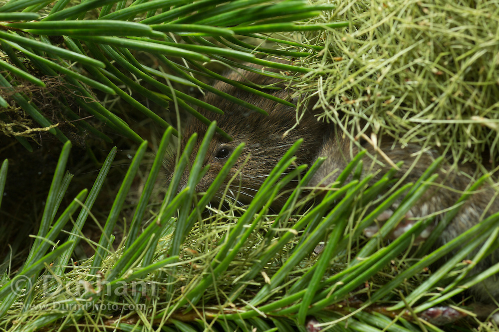 A red tree vole (Arborimus longicaudus) hides in a nest made from the discarded resin ducts from Douglas-fir needles; a byproduct of their diet. Fresh, uneaten fir needles are also present. Red tree voles are nocturnal and live in Douglas fir tree-tops and almost never come to the forest floor.  They are one of the few animals that can persist on a diet of conifer needles which is their principle food.  As a defense mechanism, conifer trees have resin ducts in their needles that contain chemical compounds (terpenoids) that make them unpalatable to animals.  Tree voles, however, are able to strip away these resin ducts and eat the remaining portion of the conifer needle.