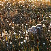 Snowy owl (Bubo scandiacus) fledged chick in cotton grass. Barrow, Alaska