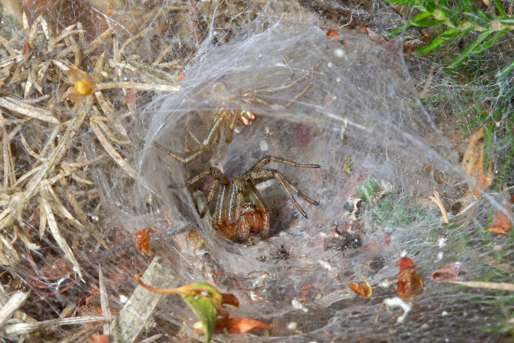 Common Labyrinth Spider - Agelena labyrinthica - male cautiously approaching female in nesting funnel