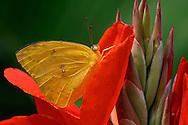 Butterfly At Rest, Cloudless Sulphur, Phoebissennae,