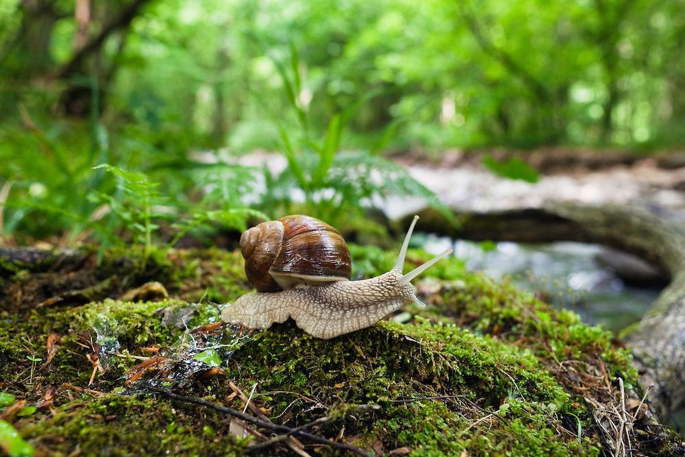 Large Garden Snail, Helix pomatia, Morske Oko Reserve, Vihorlat Mountains, Western Carpathians, Eastern Slovakia, Europe