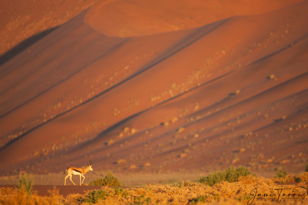A springbok (Antiforcas marsupials) walks in front of a large dune along Namibia's Skeleton Coast, Namibia,Africa
