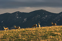 I see so many deer around here that I rarely stop and photograph them. But the evening light was so perfect that I had to stop. They were standing on a grassy ridge with the Bighorn Mountains in the background.