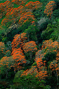 Costa Rica / Orosi Valley / Flowering Orange Poro Trees