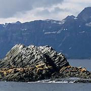 Northern Fur Seal, (Callorhinus ursinus)  Sunning themselves near Kodiak Island. Alaska.