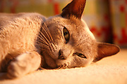 Close up of face of brown Burmese cat lying on floor carpet looking at camera