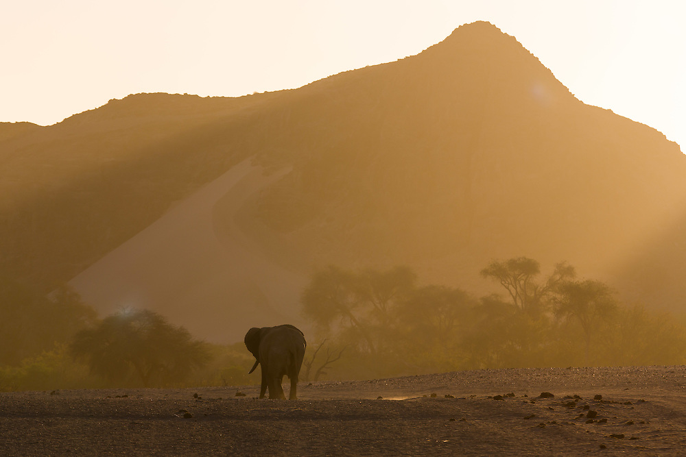 Desert-adapted Elephant, Hoanib River area, Palmweg Concession, Skeleton Coast National Park, Kaokoland, Namibia