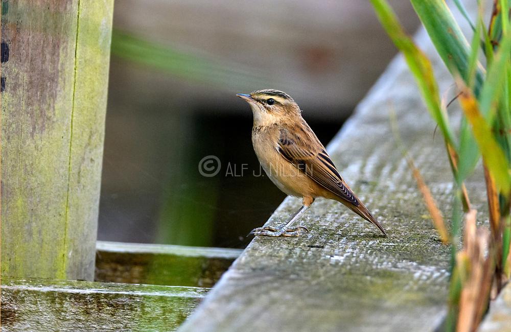 Sedge warbler (Acrocephalus schoenobaenus) from Vejlerne, northern Denmark.