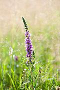 Purple Loosestrife, Lythrum salicaria, Zarnesti Gorges, Romania, spiked loosestrife, or purple lythrum