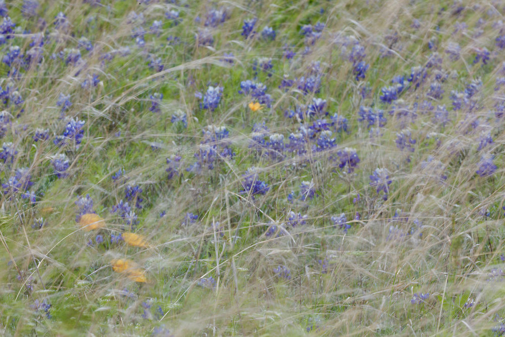 Abstract of bluebonnets and other wildflowers  in field around Native Prairies Association of Texas sign, Stella Rowan Prairie, Fort Worth, Texas. USA.