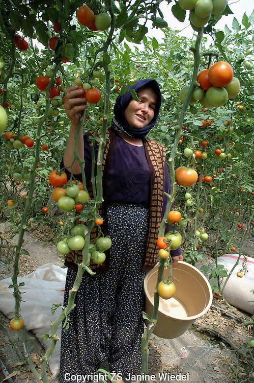 Migrant workers picking tomatoes in greenhouse near Yesilkoy in Southern Turkey.