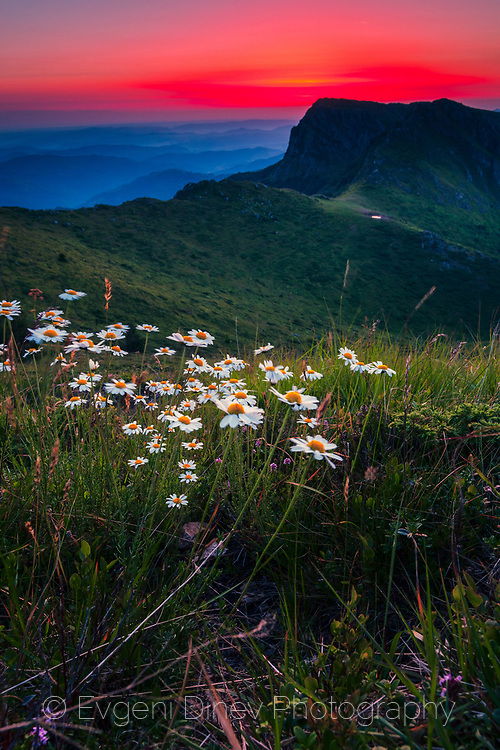 Bunch of daisies on a green mountain meadow at sunrise