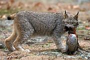 Lynx, Lynx canadensis, Minnesota, USA, with pheasant prey, in woodland forest, woods, Predator, carnivore
